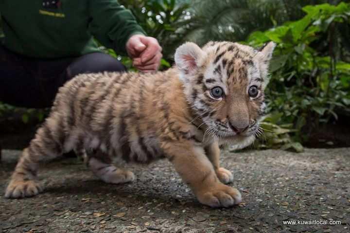 cheetahs-white-tigers-lion-cubs-and-leopard-jaguar-cubs-for-sale-kuwait
