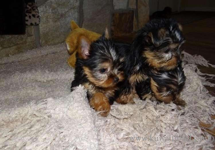 beautiful-teacup-yorkshire-terrier-puppies-kuwait