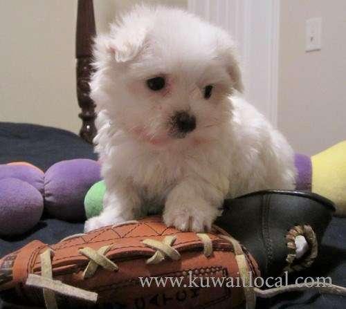 teacup-maltese-puppies-now-kuwait