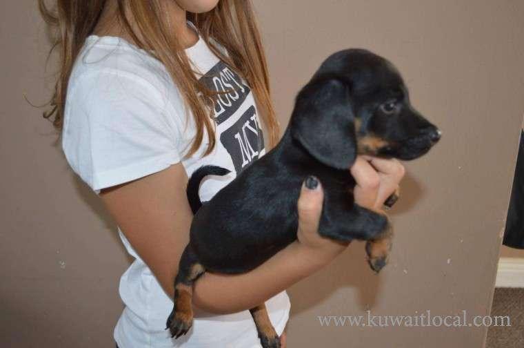 beautiful-daschound-puppy-kuwait