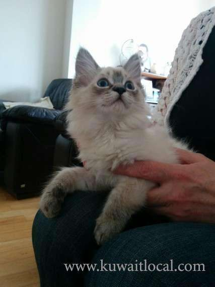beautiful-ragdoll-lynx-point-kittens-kuwait