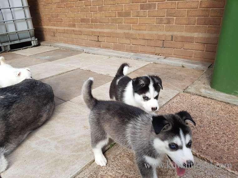 ready-now-kc-husky-pups-kuwait