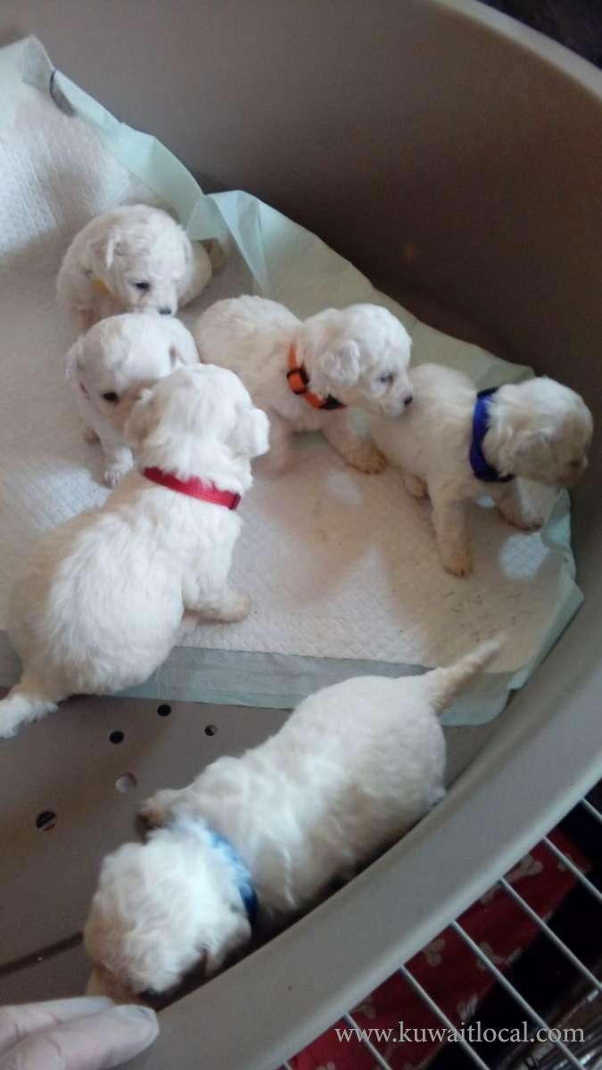 6-beautiful-pedigree-bichon-frise-pups-only-3-left-kuwait