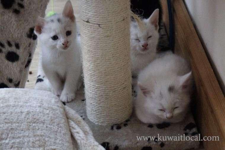 3-beautiful-white-turkish-angora-rag-doll-kittens-kuwait