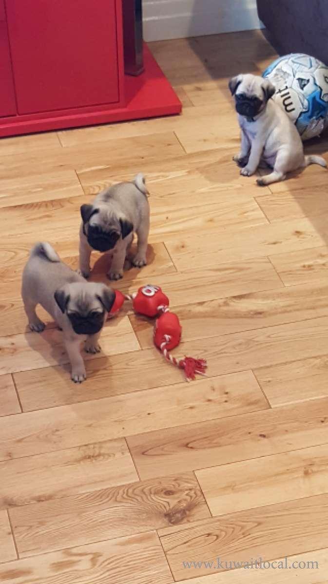 stunning-pug-puppies-kc-reg-ready-now-kuwait