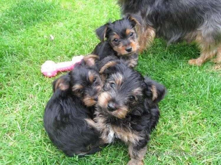 adorable-miniature-yorkie-puppy-kuwait
