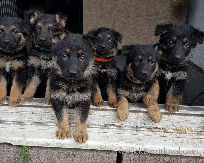 german-shepherd-pups-share-kuwait