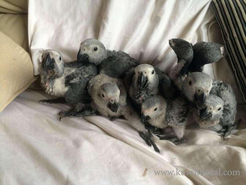 fertile-parrots-hatching-eggs-parrot-chicks-and-parrots-kuwait