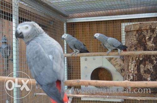 parrots-and-fertile-parrots-eggs-for-sale-1-kuwait