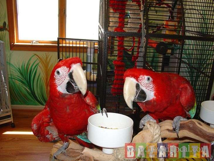 home-raised-macaws-for-sale-kuwait