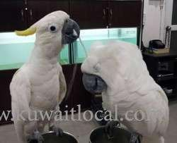 male-and-female-cockatoos-for-rehoming-kuwait