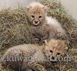 home-raised-cheetah-cubs-for-sale-kuwait