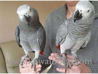 gray-adult-pair-cage-and-breeding-box-for-sale-kuwait