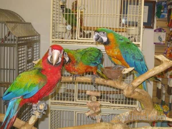 fertile-parrots-hatching-eggs-parrot-chicks-and-parrots-1-kuwait