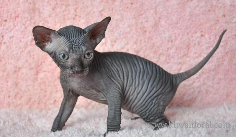 stunning-sphynx-kitten-kuwait