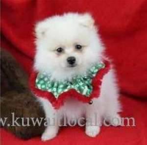 People-friendly Pomeranian Puppies Adoption For A Lovely Home in kuwait