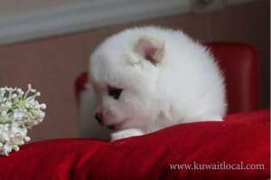 Obedient Pomeranian Puppies Adoption For A Lovely Home in kuwait