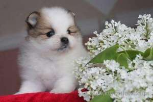 Patient Pomeranian Puppies Adoption For A Lovely Home in kuwait