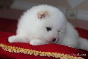 Friendly Pomeranian Puppies Adoption For A Lovely Home in kuwait