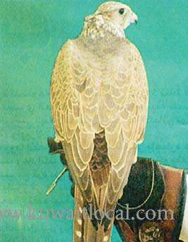falcon,-caught-by-a-citizen-in-al-ibraq-was-sold-by-a-gulf-national-at-kd-21500_kuwait