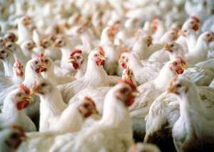 temporary-ban-on-the-import-of-poultry-from-5-countries_kuwait