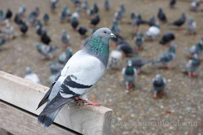 cops-is-looking-for-a-person-who-set-a-net-trap-to-catch-pigeons_kuwait