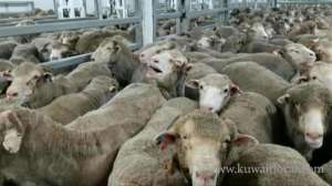 livestock-co-says-to-provide-120,000-herds-of-aussie-sheep-and-250-calves-in-ramadan_kuwait