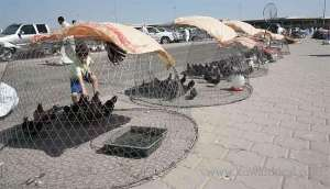immigrant-birds-in-kuwait-lend-up-in-cages_kuwait