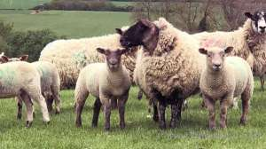 3-kuwaitis-arrested-for-stealing-sheep-from-farm_kuwait