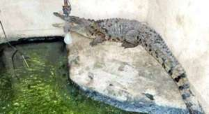 crocodile-found,-during-raids-in-kabd_kuwait