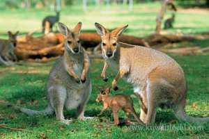 australia-to-kill-over-1900-kangaroos_kuwait