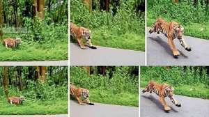 wild-tiger-chasing-bike-rider-in-kerala-india-goes-viral_G2D