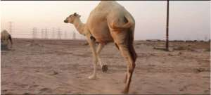 the-best-of-kuwait-desert---funny-moments-with-camels_G2D